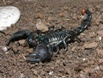 Emperor scorpion (Pandinus imperator)